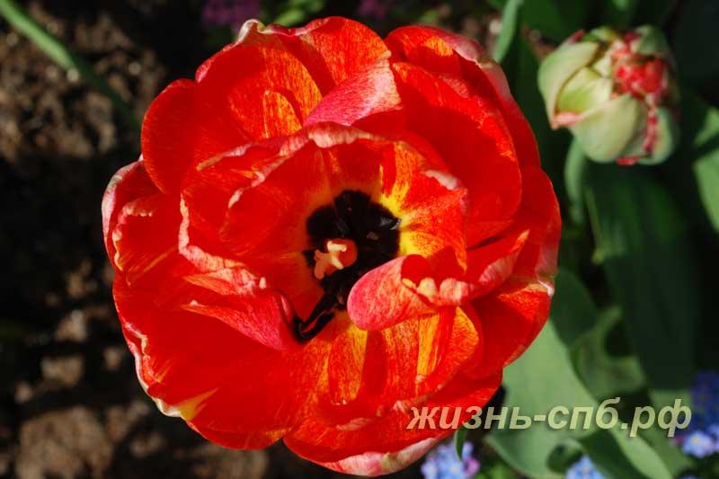 Красный цветок тюльпана