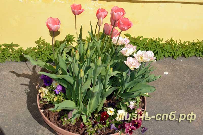 Тюльпаны в вазонах