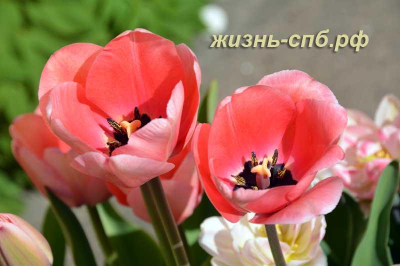 Два цветка розовых тюльпанов