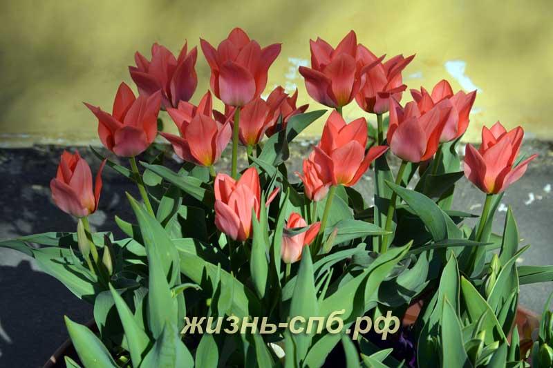 Композиция из тюльпанов в вазоне