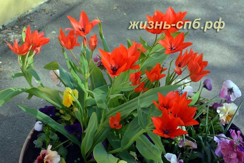 Сортовые тюльпаны ботанического сада Петербурга
