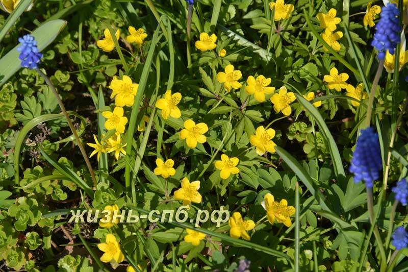 Ветреница лютичная - красивый желтый весенний цветок первоцвет