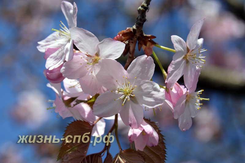 Цветы вишни в ботаническом саду в Петербурге