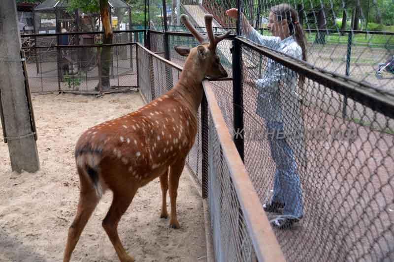 Пятнистый олень в контактном зоопарке Крестовского острова