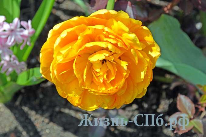 махровые или пионовые тюльпаны на газонах и дворах Петербурга