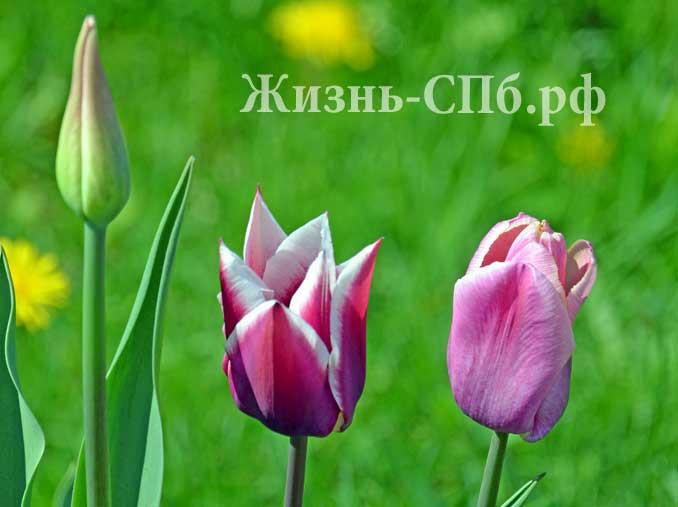 городские тюльпаны