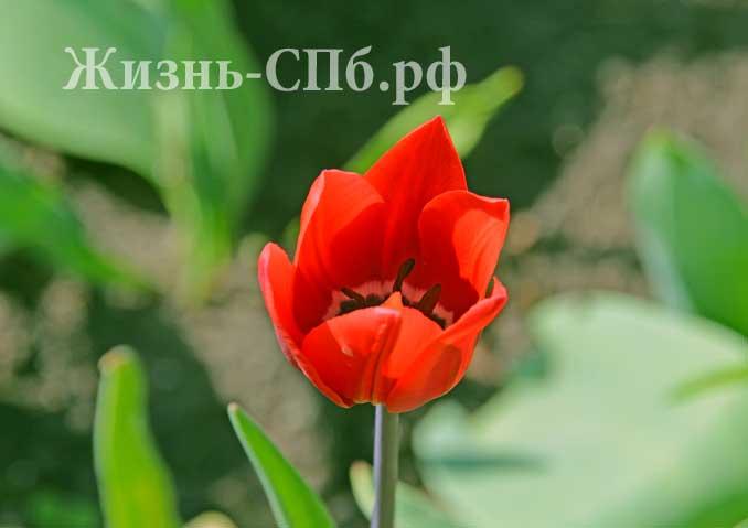 городской тюльпан в Петербурге