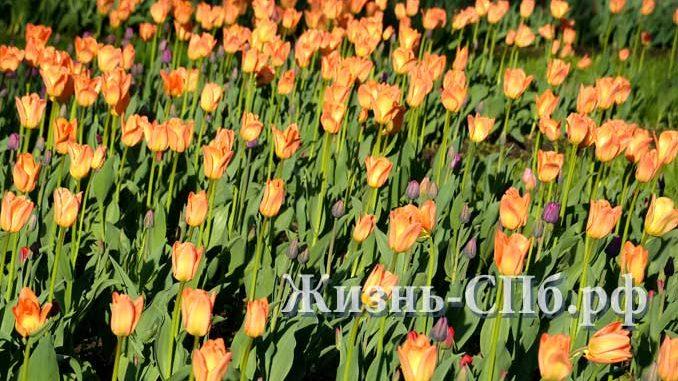 Поле тюльпанов на Елагином острове