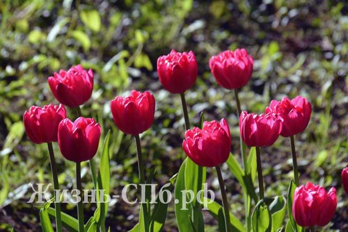 Красные махровые тюльпаны