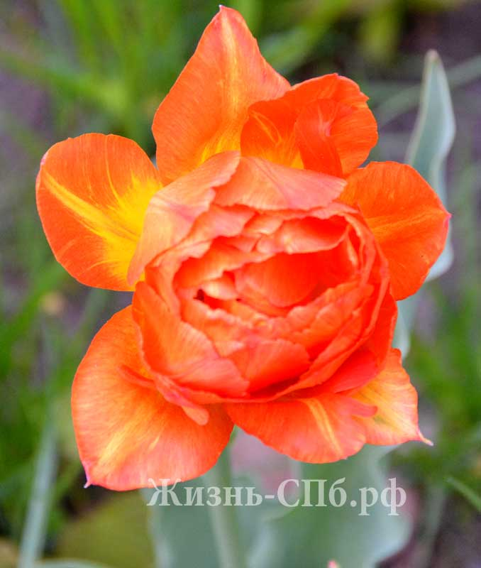 Фестиваль тюльпанов на Елагином острове