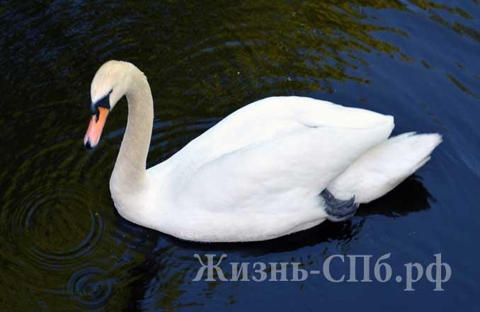 Лебедь Елагина острова
