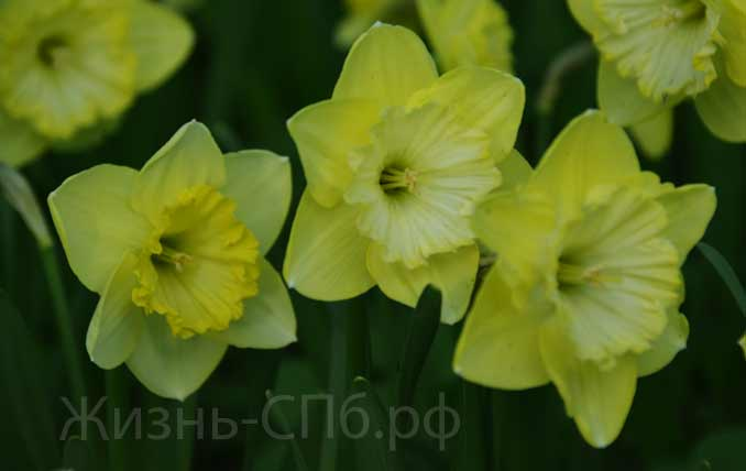 Желтые нарциссы Елагина острова