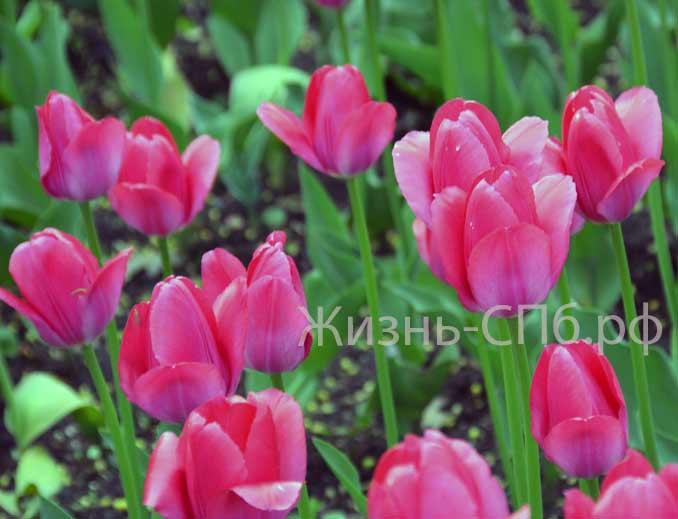Тюльпаны фестиваля