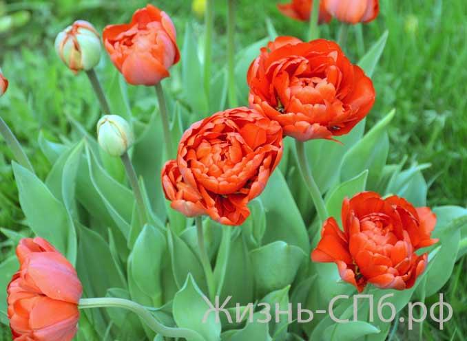 Махрорые тюльпаны
