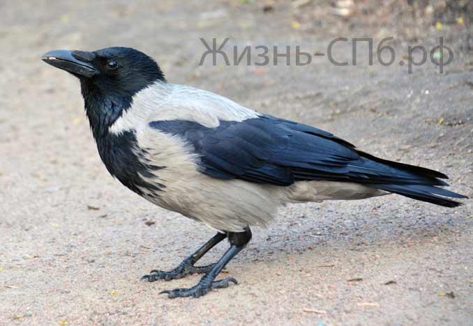 Ворона крестовского острова