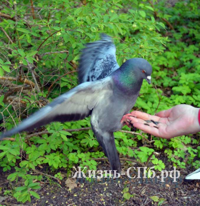 Ручные голуби Елагина острова